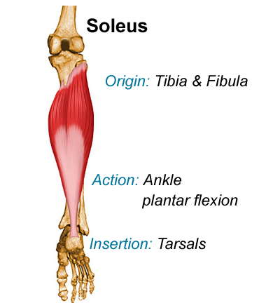 Soleus, calf muscle, muscle anatomy, massage