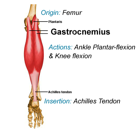 gastrocnemius, calf muscle, muscle anatomy, massage