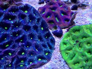 www.jacksonfishandcoral.com Live Corals
